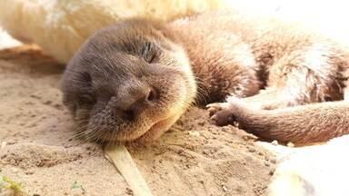 Lontra órfã recebe os cuidados do CETAS-SC e vídeos nas redes sociais encantam internautas - Filhote macho de lontra estava com cerca de 40 dias quando chegou aos cuidados de profissionais do Centro de Triagem de Animais Silvestres de Santa Catarina (CETAS-SC), que ensinam os comportamentos padrões para que volte à natureza.