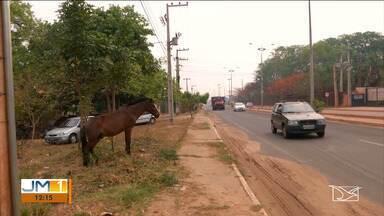 Centro de Zoonoses recolhem animais soltos nas ruas de Imperatriz - Para ter os animais de volta, os donos terão que pagar uma multa.