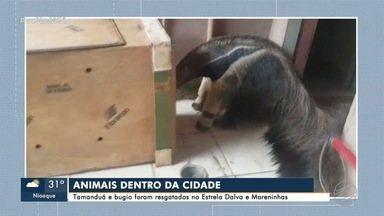 Resgate de animais silvestres nas cidades aumenta 26,7% em Mato Grosso do Sul - Para Polícia Militar Ambiental o desmatamento tem colaborado com a presença dos animais na área urbana
