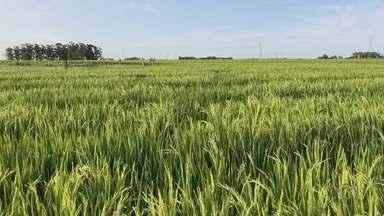 Falta de chuva prejudicou a soja mas trouxe benefícios no plantio de arroz - Duas importantes culturas agrícolas da região tiveram reações diferentes à seca das primeiras semanas do ano.