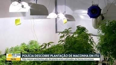 Polícia descobre plantação de maconha em Itu - 500 pés da planta eram cultivados em estufa