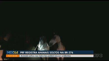 PRF registra animais soltos na BR-376 - Animais soltos nas rodovias podem causar acidentes.