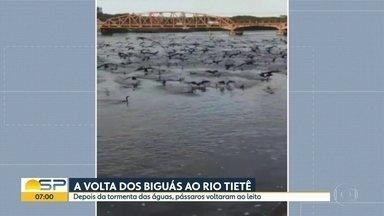 Imagens mostram revoada de Biguás no Rio Tietê. - Aves voltaram ao leito do rio depois da tormenta.