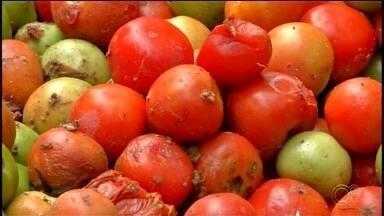 Agricultores jogam tomates na beira da estrada em Ribeirão Branco - Agricultores de Ribeirão Branco (SP) estão jogando tomates na beira da estrada.