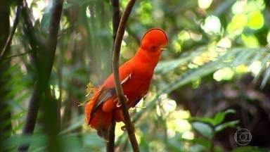 Galo da Serra é uma das 1.300 espécies de pássaros existentes na Amazônia - Os machos vivem a vida de forma lenta, sempre com o objetivo de atrair uma parceira. As fêmeas são discretas. O Globo Repórter visitou formação rochosa que serve de 'palácio' para a espécie.