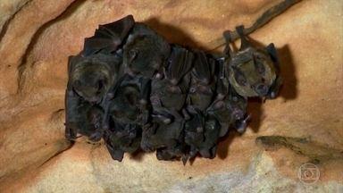Pesquisadores desvendam passado e pensam no futuro da Floresta Amazônica - Conchas marinhas achadas por geólogos provam que a floresta já foi mar e rastros encontrados por arqueólogos comprovam que a Amazônia já era habitada há mil anos. Pesquisadora de morcegos tenta transformar cavernas em área de proteção ambiental.