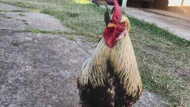 Galo Risoto é criado como animal de estimação em Alegrete - Animal foi rejeitado pela mãe.
