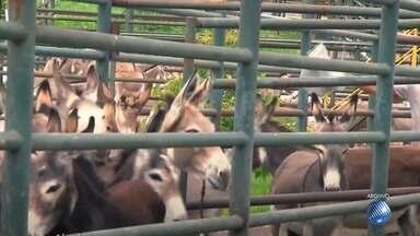 Polêmica: produção de carne e abate de equídeos é regulamentada na Bahia - Entidades de defesa de animais não aprovou a decisão devido a forma como jumentos tem sido tratados no estado.
