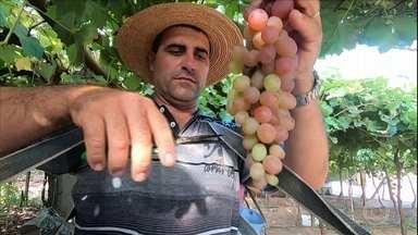 Produtores de uva começam a sentir as mudanças causadas pelo coronavírus - Produtores de uva começam a sentir as mudanças causadas pelo coronavírus