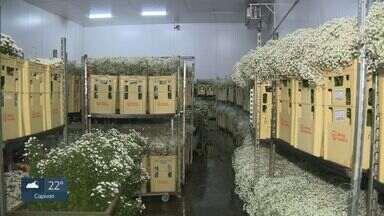 Venda de flores cai 70% e produtores de Holambra têm prejuízo de R$ 50 milhões - Com o cancelamento de eventos, parte das flores que seriam usadas em decoração estão sendo jogadas no lixo.