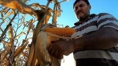 Produtores da região estão otimistas com safra do milho mesmo com o coronavírus - Produtores da região estão otimistas com safra do milho mesmo com o coronavírus.
