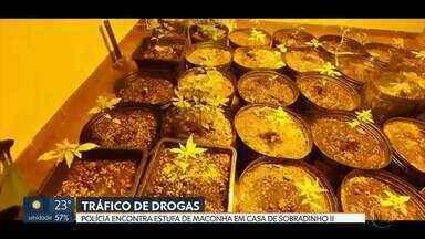 Traficante que tinha estufa de maconha em casa é preso em Sobradinho II - Policiais encontraram 35 pés no local além de dinheiro, munição e drogas sintéticas.