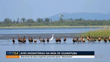 Aves migratórias na Baía de Guaratuba - Veja também a previsão do tempo