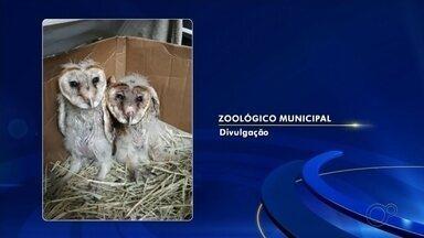 Polícia Ambiental resgata dois filhotes de coruja Suindara em Catanduva - Os animais estavam na tubulação de uma usina desativada e foram encaminhadas para o zoológico da cidade. Por serem filhotes e não aprenderem a caçar não podem ser devolvidas para o habitat natural.