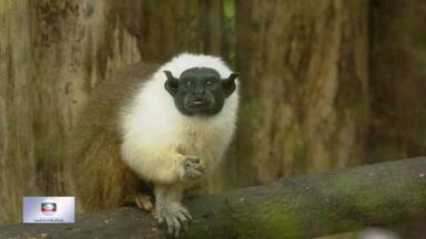 Espécie rara de macaco nasce no zoológico de Brasília - O Sauim-de-coleira só existe na região amazônica e está ameaçado de extinção.