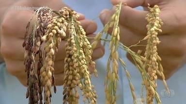 Embrapa estuda 250 variedades de arroz em Goiás e repassa resultado para produtores - Embrapa estuda 250 variedades de arroz em Goiás e repassa resultado para produtores
