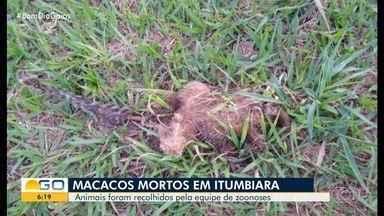 Dois macacos são encontrados mortos em Itumbiara - Eles foram recolhidos pela equipe de zoonoses.