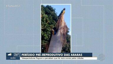 Telespectadores mandam flagrantes de araras pelas cidades de MS - Bióloga Neiva Guedes, do projeto Arara Azul, conta que elas estão em período pré-reprodutivo