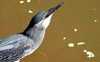 É Curioso: pássaro se mostra um excelente pescador em Minas Gerais - No Parque Burle Marx, em Ipatinga, um pequeno pássaro pega a isca com o bico e vai em direção aos peixes. Ele consegue atrair as presas e as pesca com grande precisão