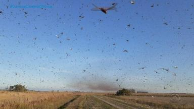 Nuvem de gafanhotos na Argentina preocupa produtores da Fronteira Oeste do RS - Insetos passaram por Paraguai e Argentina, destruindo plantações de milho. Segundo a Somar, probabilidade de chegada ao estado pode ser pequena em função da chuva prevista para os próximos dias.