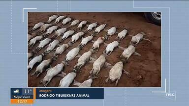 Dezenas de pinguins são encontrados mortos em praia de Florianópolis - Dezenas de pinguins são encontrados mortos em praia de Florianópolis