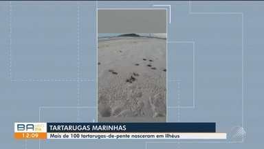 Cerca de 100 filhotes de tartarugas marinhas nascem em Ilhéus, sul do estado - A soltura dos animais foi no final da tarde de domingo (28).