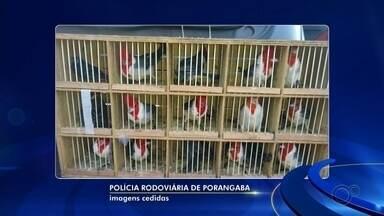 Homem é detido em rodovia com dezenas de aves silvestres escondidas no carro em Porangaba - Um homem de 32 anos foi detido após ser flagrado transportando dezenas de aves silvestres em um carro na manhã desta terça-feira (30), em Porangaba (SP).