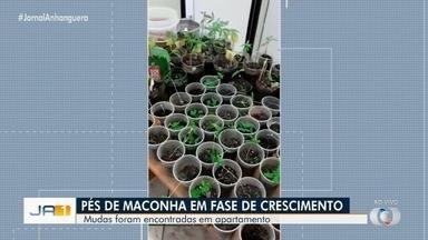 Polícia Civil encontra 90 mudas de maconha em apartamento, em Anápolis - Havia uma estufa climatizada na residência.