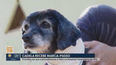 Hospital Veterinário da UFU faz implante de marcapasso em cadela - Cirurgia ficou marcada na história da Universidade Federal de Uberlândia, pois foi inédita na instituição. Implante ajudou animal que estava com problemas no coração.