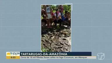 Cerca de 10 mil de Tartarugas-da-Amazônia são soltas no lago Curumum, em Alenquer - A ação contou com o apoio dos moradores tanto de Alenquer quanto de Curuá, por meio de projeto de proteção dessa espécie.