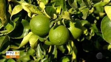 Produtores registram aumento na produção de limão no Oeste Paulista - Aumento na procura vem fazendo com que os estoques nos mercados diminua.