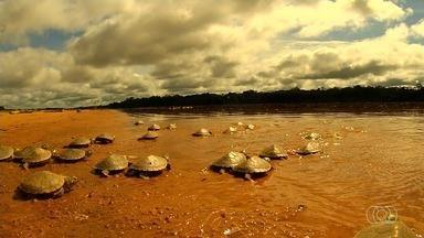 Confira os destas que Jornal do Campo - Reportagem fala sobre o ciclo de reprodução da tartaruga da Amazônia.