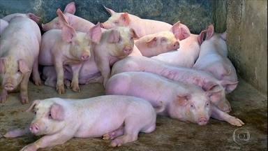 Consumo aquecido faz criadores de porcos de MG receberem o maior valor da história - Produtores de Minas Gerais estão animados com o mercado. Na região, os criadores estão recebendo cerca de R$ 7 por quilo do animal vivo, o maior valor já recebido no estado na história.