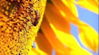 Globo Rural – Edição de 26/07/2020 - Programa mostra que o uso de abelhas na agricultura ajuda na polinização das lavouras e aumenta a produtividade e a renda do agricultor. Tem ainda focos de queimada no pantanal do Mato Grosso do Sul, que bateram recorde no primeiro semestre, desde o início da série histórica do Inpe, em 1999.