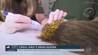 Novo tratamento ajuda animais feridos com cerol - Novo tratamento ajuda animais feridos com cerol