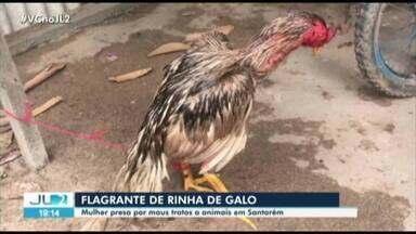 Polícia prende suspeita de comandar rinha de galo em Santarém, no Pará - Na casa dela, os policiais apreenderam 45 galos usados para brigar entre si.