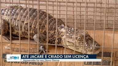 Polícia apreende jacaré, lagartos e cobras criados sem autorização em Novo Gama - O jacaré e o homem que criava o animal foram para a delegacia.