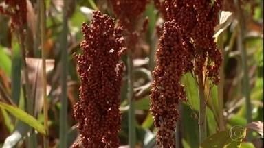 Produtores de Goiás se beneficiam da alta do preço do sorgo - O produtor Olávio Telles esperava vender a saca a R$ 28,30, mas vendeu a R$ 32, R$ 34.