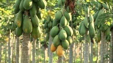 Pandemia dificulta vendas de mamão no Espírito Santo - Agricultores não estão conseguindo comercializar a fruta no mercado interno, e as exportações caíram 50%.