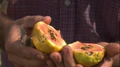 Larvas em cultivo de goiabas chama atenção de produtor de Serra Talhada (PE) - Veja dicas para resolver esse que é um dos principais problemas para os produtores da fruta.