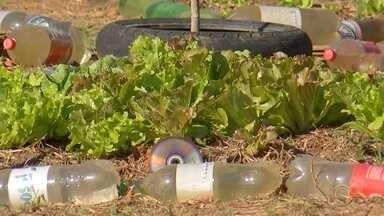 Moradores de Itu cultivam horta em espaço que estava abandonado - Os moradores da CDHU em Itu (SP) começaram a cultivar hortaliças, legumes e frutas em um espaço que estava abandonado.