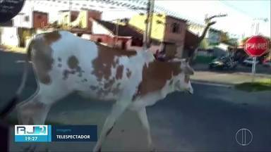 Bois atravessam avenida no bairro Jockey, em Campos, no RJ - Os animais caminharam tranquilamente, como se estivessem no pasto.