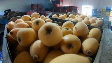 Produtores de nêspera relatam menor produção do fruto na região de Itapetininga - Produtores de nêspera relataram menor produção do fruto na região de Itapetininga (SP), mas a qualidade tem agradado o consumidor.