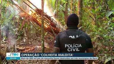 Operação 'Colheita Maldita' destrói mais de 400 mil pés de maconha - Ação foi realizada em três municípios.