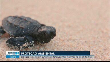 Biólogos comemoram aumento de tartarugas marinhas no Litoral do Brasil - Proteção ambiental.