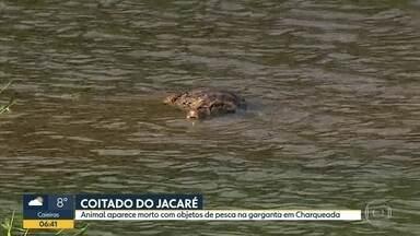 Jacaré morreu com objetos de pesca no pescoço - Animal foi encontrado na cidade de Charqueado, perto de Piracicaba.