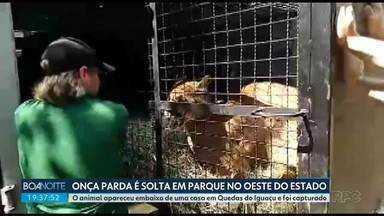 Onça parda é solta em parque no oeste do estado - O animal apareceu embaixo de uma casa em Quedas do Iguaçu e foi capturado.
