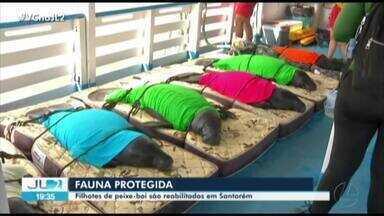 Filhotes de peixe-boi são reabilitados em Santarém - Filhotes de peixe-boi são reabilitados em Santarém