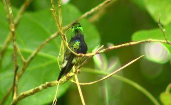 Expedição em busca de um dos mais bonitos beija-flores brasileiros - Vamos atrás do maior beija-flor do Brasil, o brilho-de-fogo, em viagem pela Amazônia. No caminho, muitas histórias envolvendo grandes apaixonados pela natureza.