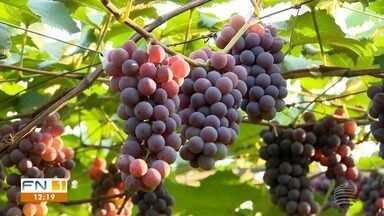Produtores do Oeste Paulista 'trocam' colheita de maracujá pela da uva - Mesmo quem nunca teve experiência com o plantio está investindo.